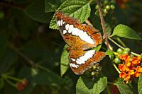 Commander Butterflie. It is a common butterfly in India. Limenitis procris is a species of butterfly described by Pieter Cramer in 1779. Limenitis pro...