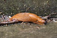 Closeup of a slug on wet stone.