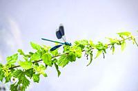 Closeup of a blue Palaeoptera on a plant.
