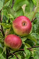 Apple growing on an apple tree.