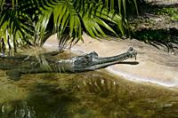 Mature male Indian Gharial crocodile with head out of the water showing ghara, long snoutand interlocking teeth, St. Augustine Alligator Farm, Florida...