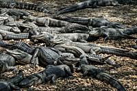 A large group of American Alligators resting and sunning themselves at the St. Augustine Alligator Farm, Florida.