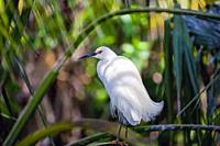 Elegant Snowy Egret (Egretta thula) with breeding plumage balancing on a thin branch looking left seen from the back,Florida, USA.