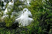 Elegant Great Egret in (Casmerodius albus) breeding plumage with head bent in an S curve preening with long white breeding plumage spread out over bod...
