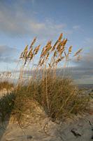 Wind blown sea oats (Uniola paniculata) atop a sand dune bathed in golden light, Daytona Beach, Florida, USA.