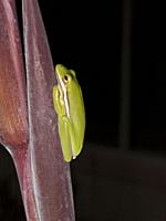 Side view of a Green Tree Frog (Hyla cinerea) resting on magenta colored Canna plant stem with a black background, Florida, USA.