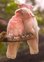 Major Mitchell´s Cockatoo Cacatua leadbeateri adult pair, perched together.