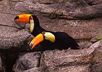 Couple of Toco Toucan (Ramphastos toco). on a rock.