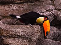 Toco toucan on the rock.