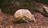 Southern three-banded armadillo (Tolypeutes matacus) runs on the ground.