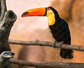 Toco toucan on branch.