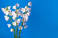 Bouquet of flowers bells on a blue background.