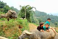 Children playing with buffalo in the village of Lao Chai near Sapa, Vietnam, Asia.