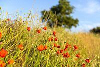 Poppies (Papaver rhoeas). Petrola Lagoon Nature Reserve. Albacete, Spain, Europe.