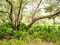 Live Oak trees in Lemon Bay Park and Environmental Centerin Englewood on the Gulf Coast of Florida USA.