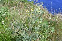 Wild cabbage (Brassica oleracea) is a biennial plant native to calcareous coasts of southwestern Europe. This photo was taken in Cabo de Penas, Asturi...