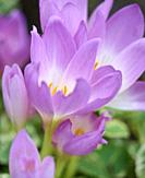 growing blooming crocuses in the garden on a summer day, close up.