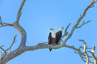 African fish eagle (Haliaeetus vocifer), Tanzania, East Africa.
