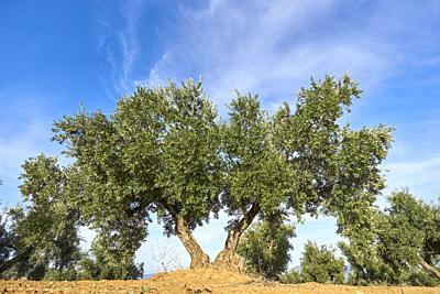 Olive grove in Granada, Andalusia. Spain.
