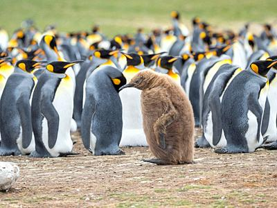 Chick in brown plumage. King Penguin (Aptenodytes patagonicus) on the Falkland Islands in the South Atlantic. South America, Falkland Islands, January...