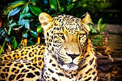 Portrait of a Leopard (Panthera pardus).