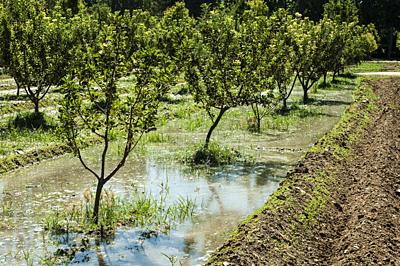 Watering orchard. Water channels.