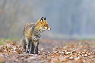 Red fox (Vulpes vulpes) on path, Springtime, Hesse, Germany, Europe.