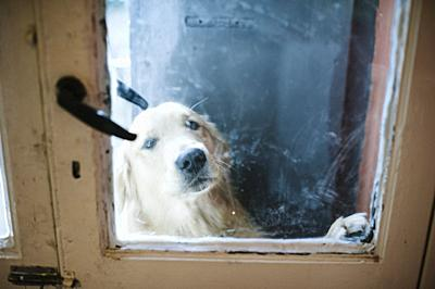Golden retriever dog at the door wants to come, he looks from the windows.