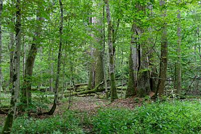 Two old oak trees side by side in summertime decuduous forest, Bialowieza Forest, Poland, Europe.