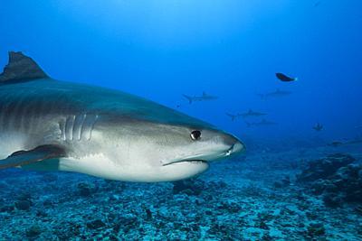Tiger Shark, Galeocerdo cuvier, Moorea, French Polynesia.