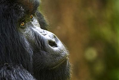 Mountain gorilla (Gorilla beringei beringei) silverback male, portrait, member of the Nyakagezi group, Mgahinga National Park, Uganda, Africa.