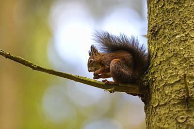 Red Squirrel, Sciurus vulgaris, in forest.