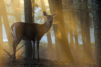 Red Deer ( Cervus elaphus ), hind, standing at the edge of a forest on a misty morning, wonderful atmospheric backlight, visible breath cloud, Europe.