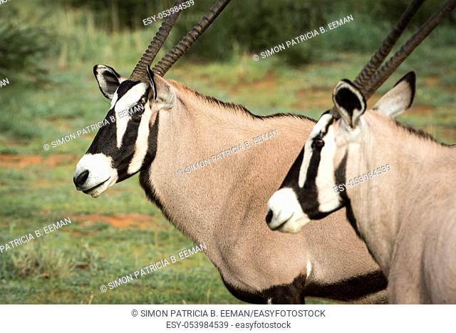 Side profile of two Oryx in the Kalagadi Transfrontier Park, South Africa