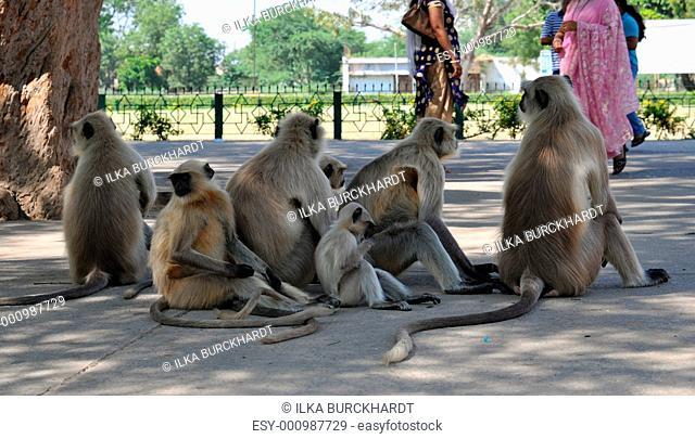 Gruppe Hanuman Languren in Indien