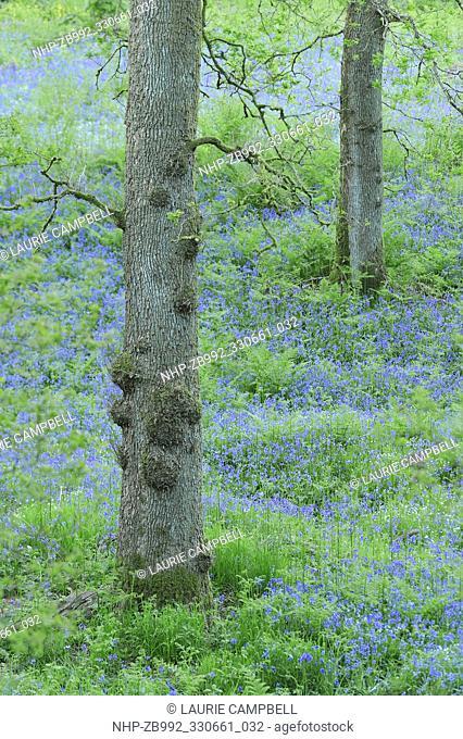 Bluebells (Hyacinthoides non-scripta) and Sessile Oak (Quercus petraea), Drippan Wood, Glen Finglas, Woodland Trust Reserve