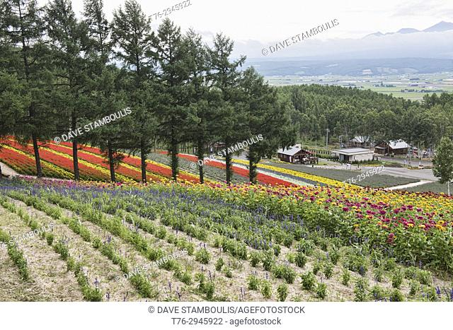 Rainbow fields of marigolds and sage at the Saika no Sato Lavender Farm in Naka-Furano, Hokkaido, Japan