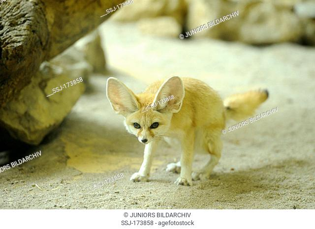 Fennec Fox (Vulpes zerda, Fennecus zerda) at Augsburg Zoo, Germany