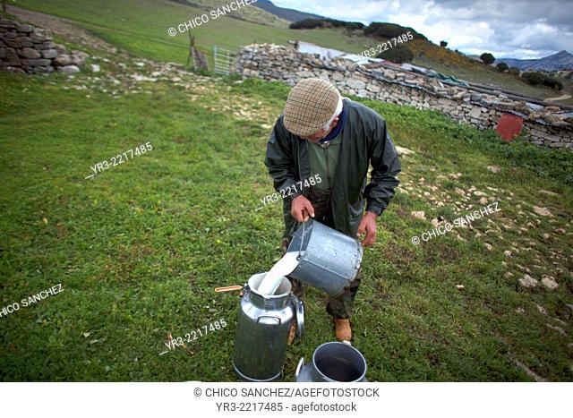 A shepherd collects milk in Villaluenga del Rosario, in the Sierra de Grazalema National Park, Cadiz province, Andalusia, Spain