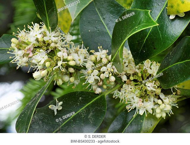 cherry-laurel (Prunus laurocerasus), blooming branch, Germany, Bavaria