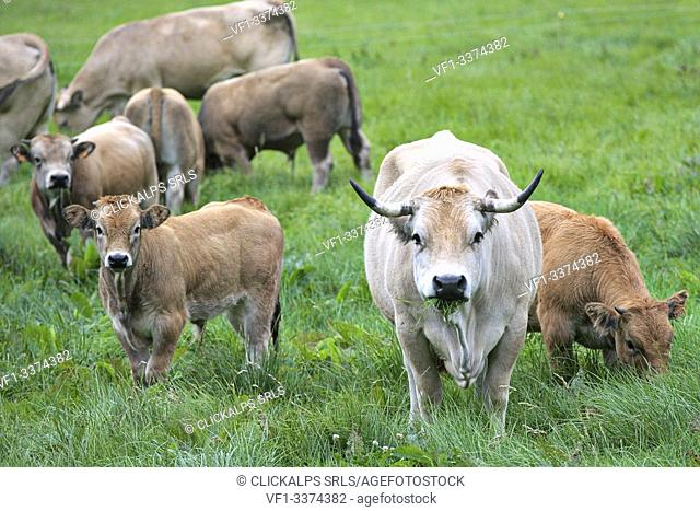 Lavigerie, Cantal, France, Europe. Aubrac cows in a field