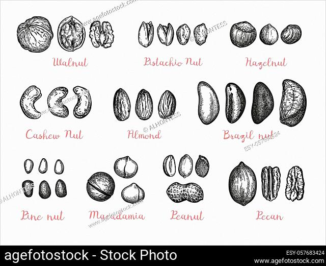 Nuts big set. Collection of ink sketches isolated on white background. Hand drawn vector illustration. Retro style