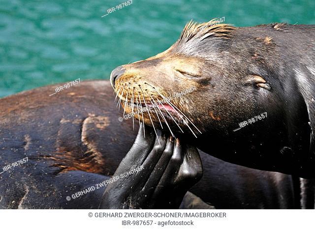 Steller or Northern Sea Lion (Eumetopias jubatus), scratching, Oregon, USA