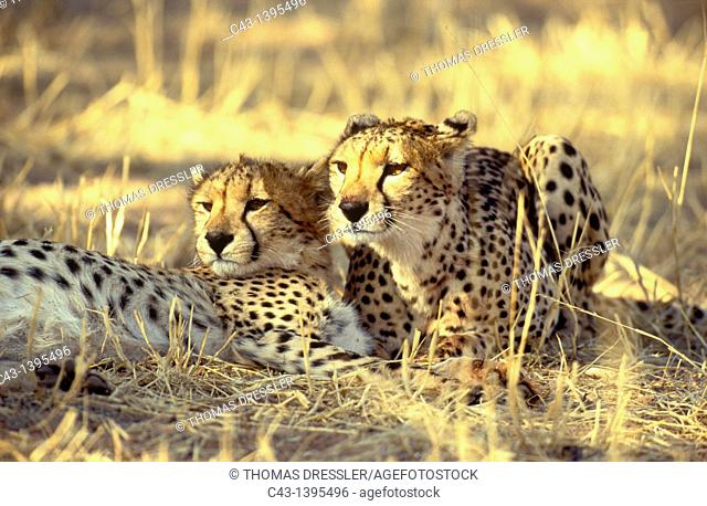 Cheetah Acinonyx juabtus - Female on the right and her subadult male cub, resting with full bellies after having fed  Kalahari Desert