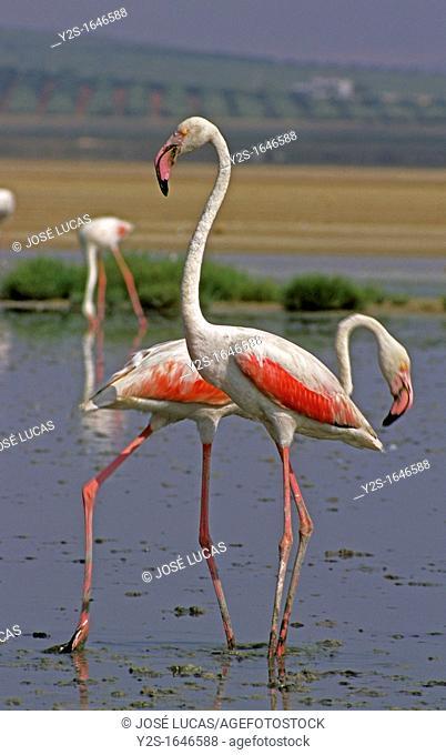 Natural reserve Lagoon of Fuente de Piedra  Greater Flamingos, Fuente de Piedra, Malaga-province, Spain