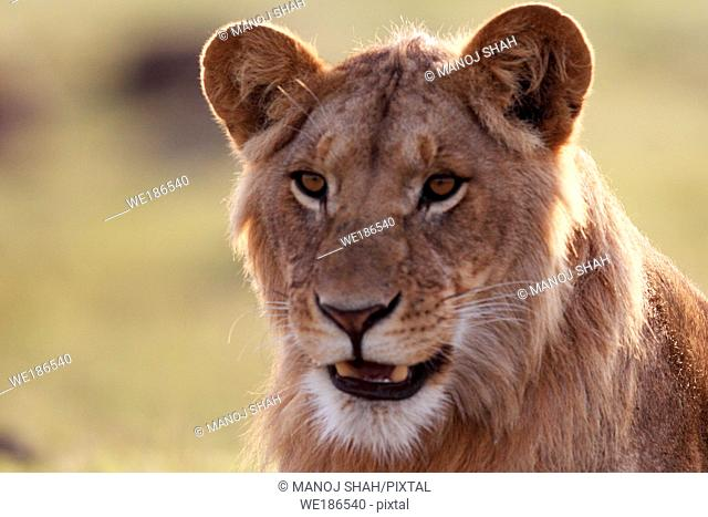 This young male has been sent off from the pride by his father so that competition between the father and son can be avoided