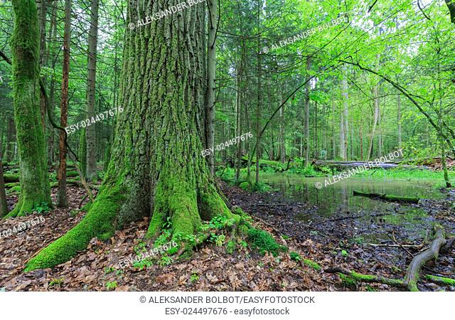 Summertime broadleavedstand with small pond under shady canopy of stand and old oak tree in foreground,Bialowieza Forest,Poland,Europe