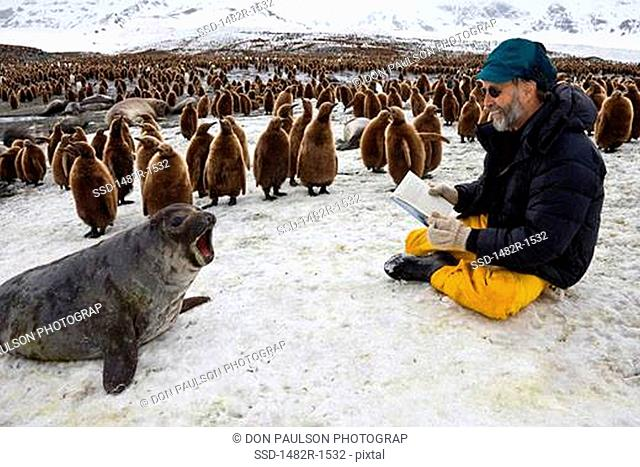 Tourist reading a book in front of a Southern Elephant seal Mirounga leonina near a King penguin colony Aptenodytes patagonicus, St