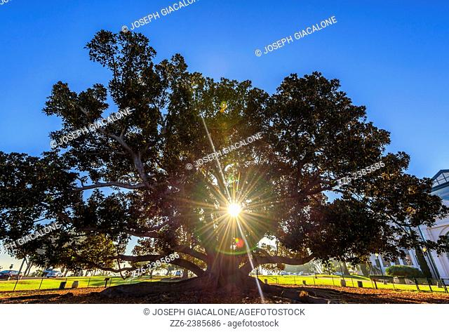 Sunbeams shining through the Moreton Bay Fig Tree. Balboa Park, San Diego, California, United States