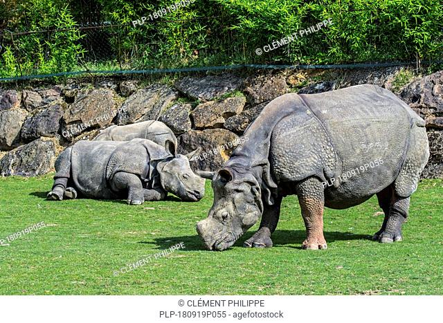 Indian rhinoceros (Rhinoceros unicornis) female with young at the zoo ZooParc de Beauval, France